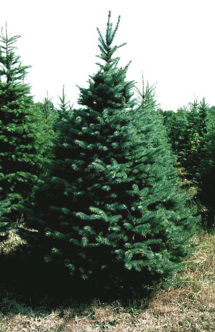 what is your tree sign: Fir tree spiritual meanings