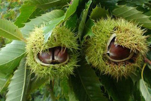 what is your tree sign, ancient Slavic astrology, Chestnut tree