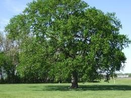 Elm tree, spiritual meaning of tree signs