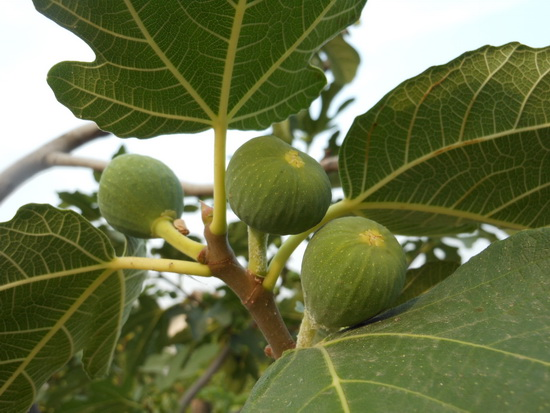 What is your Tree Sign Fig Tree