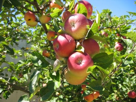 what is your tree sign: apple tree symbolism and meanings