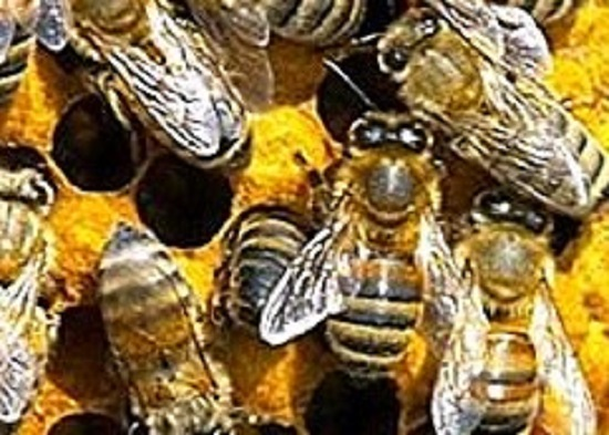 Super Sisters Bees Eusociality and Castas